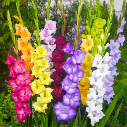 Gladiolus Mixed Colors