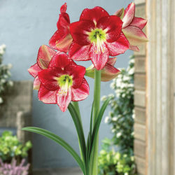 Flamenco Queen Amaryllis