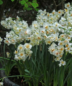 Winston Churchill Narcissus