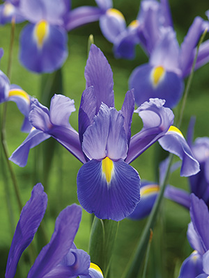 Chopin Dutch Iris