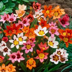 Sparaxis Flowers