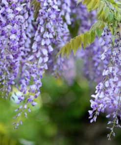 Wisteria Purple Flowers