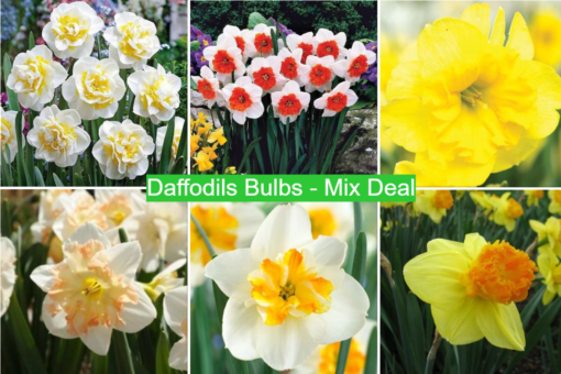 Daffodil Bulbs - Mix Deal